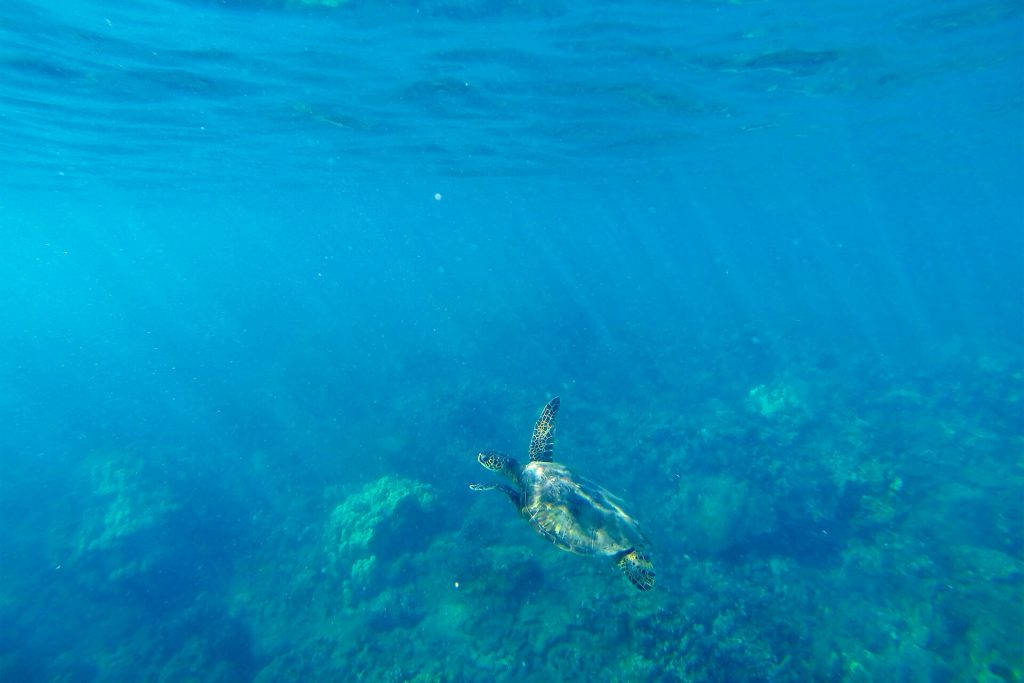Maui Turtle Swimming